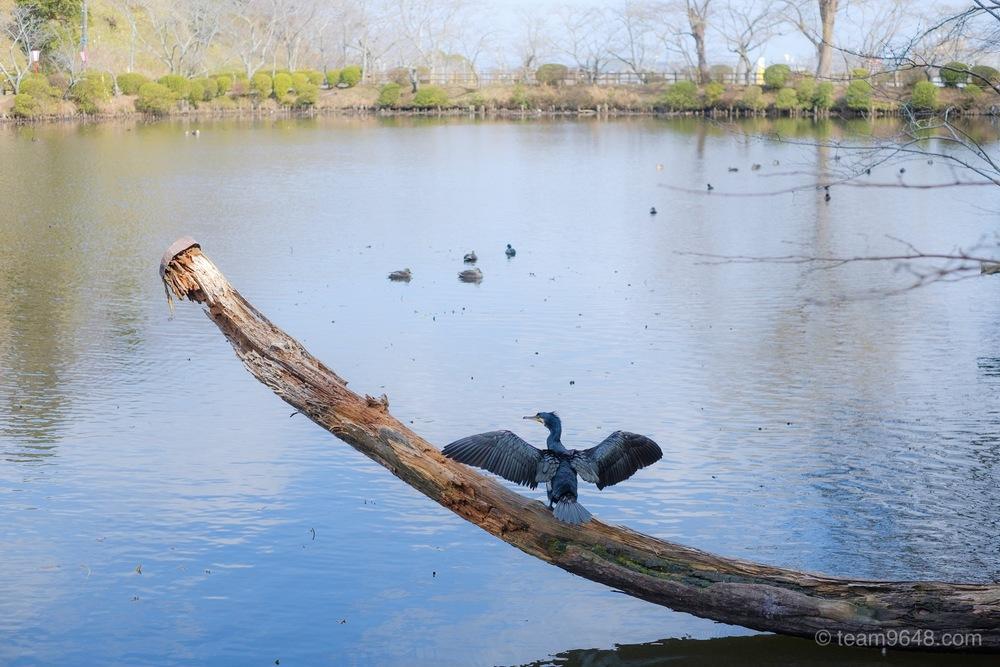茂原公園 鳥