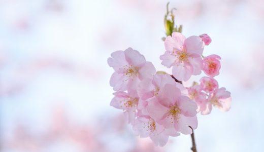 【長生郡白子町】しらこ温泉桜祭りで早咲きの河津桜を撮ってきた(FUJIFILM X-H1 / XF90mm F2, XF16-55mm F2.8)