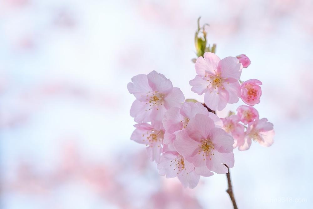 河津桜 しらこ温泉桜まつり