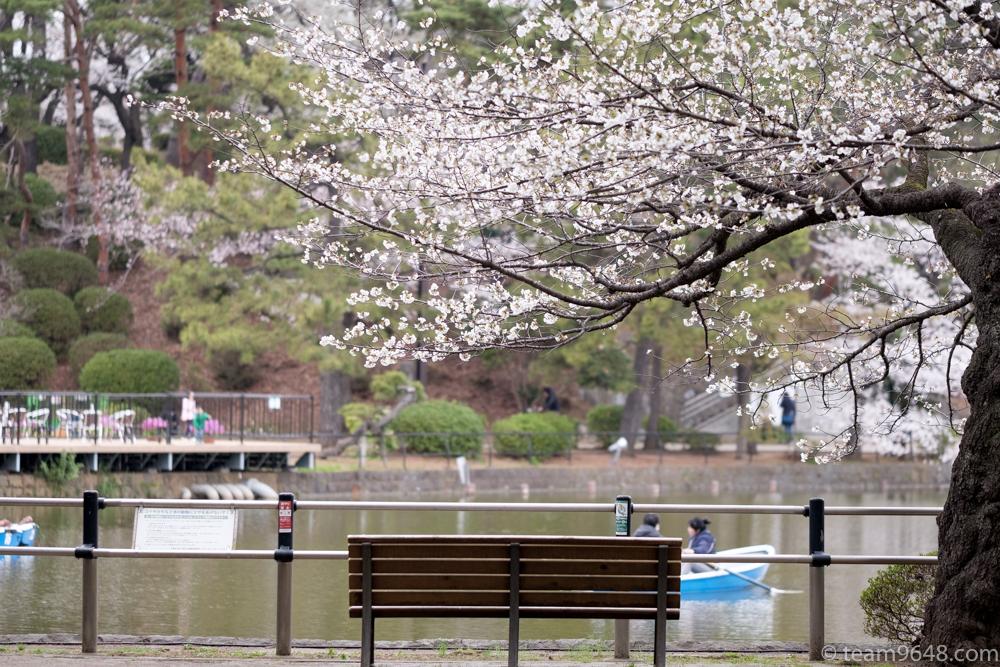 千葉公園 桜 花見