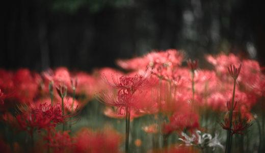 道に咲いてた彼岸花(Nikon Z6 / AF-S VR Micro-Nikkor 105mm f/2.8G IF-ED)