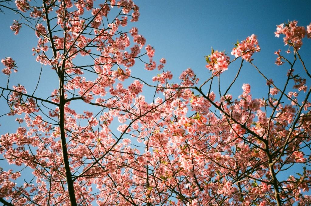 SUPERIA PREMIUM 400 作例 桜